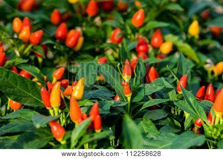 Red Cute Ornamental Pepper In Vegetable Garden (capsicum Annuum)