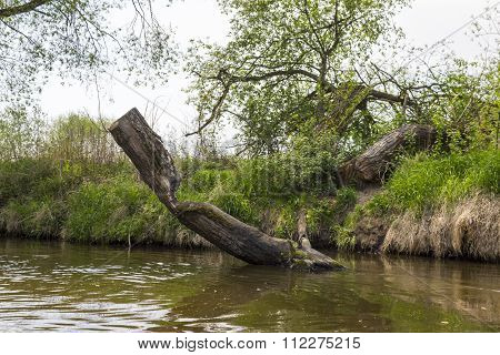 Fallen tree on the bank of the river Kamienna, Poland