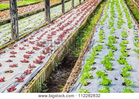 Cultivation of vegetable in a greenhouse .