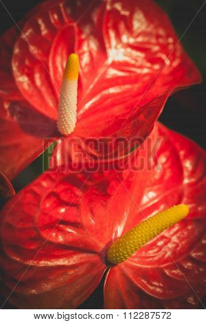Macro Shot Of Beautiful Spadix. Vintage Natural Floral Background,