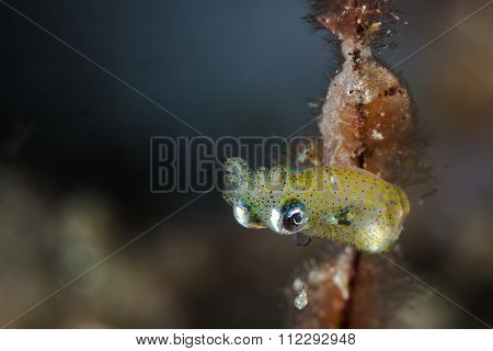 Pygmy Squid