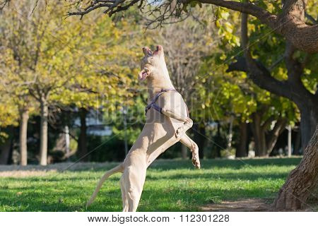 Beautiful pose of an American Staffordshire terrier jumping.