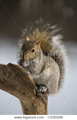 Winter Squirrel