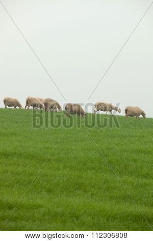 Sheep grazing on a green meadow during a foggy winter morning