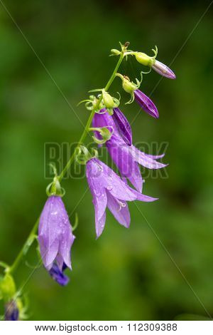 Beautiful Bluebell Flowers