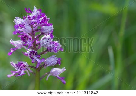Orchis militaris at agreen backround perfectly useable for landscape documentatons