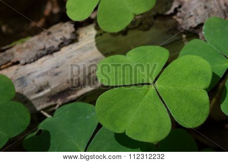 Oxalis acetosella with nice light in the middle of woods