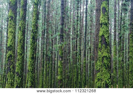 Many Trees Inside Forest Overgrown With Moss