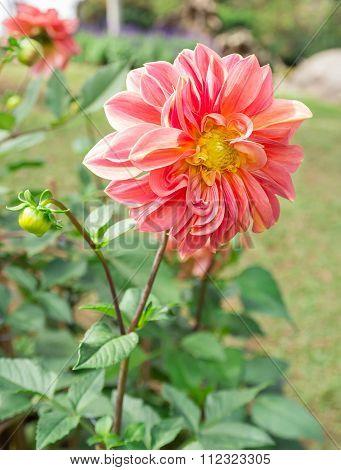 Beautiful Pink Dahlia Flower