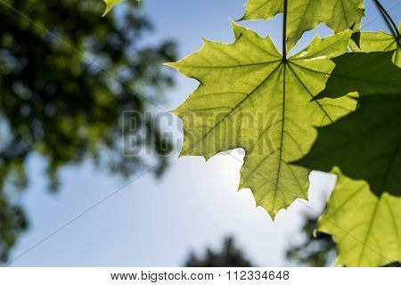 Big Leaves Maple Of Green Color