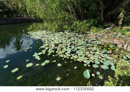 Flora On Indonesian Pond