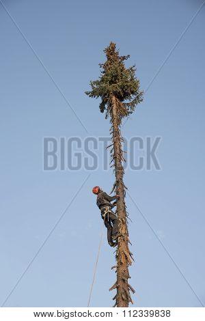 Lumberjack Climbing Up A Fir Tree In The Front Garden