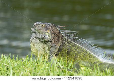 Wil Lizard Closeup
