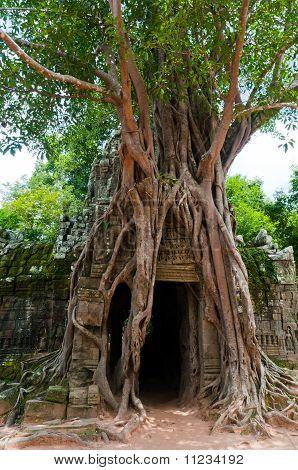 Ta Som Tree