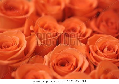 Soft Red Roses