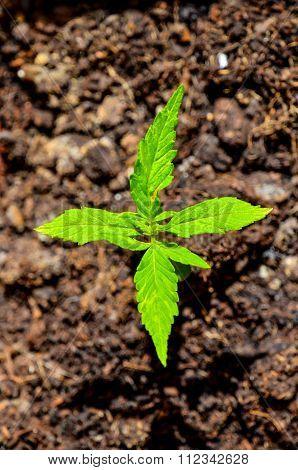 Close up of hemp buds