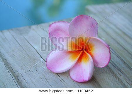 Pink Frangipani Flower