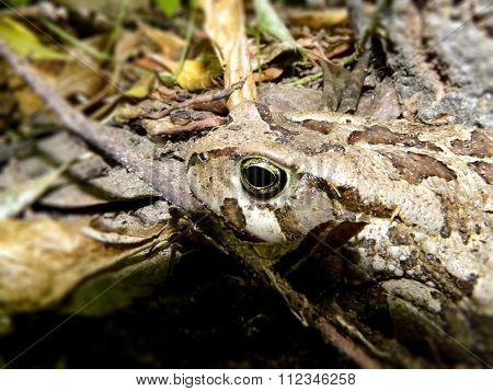 Rangers Toad