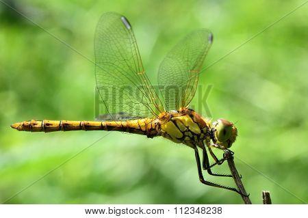 Common darter dragonfly (Sympetrum striolatum) at rest