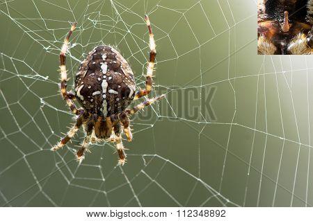 Araneus diadematus spider on web, with detail of epigyne