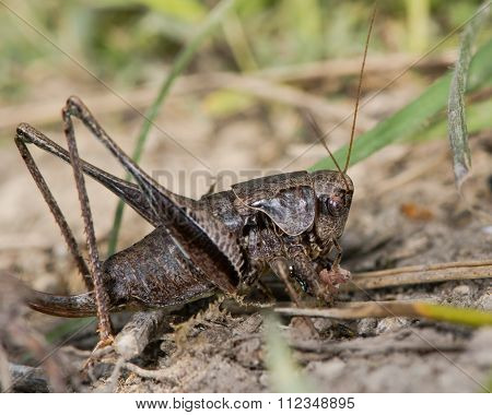Dark bush cricket (Pholidoptera griseoaptera) eating a bee