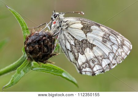 Marbled white butterfly (Melanargia galathea) with underside visible with red parasitic mite
