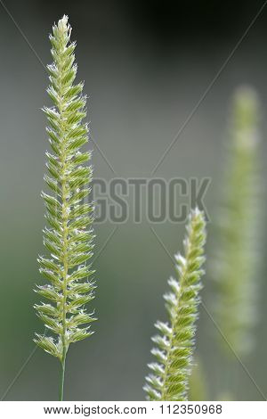 Crested dog's-tail (Cynosurus cristatus)