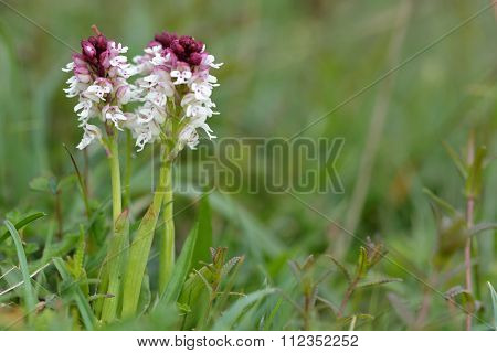 Burnt-tip orchid (Orchis ustulata) in flower