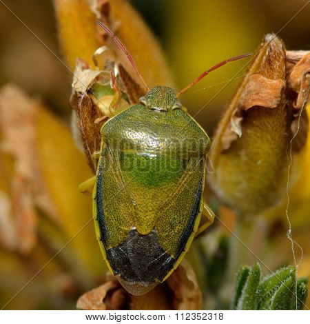 Gorse shieldbug (Piezodorus lituratus)