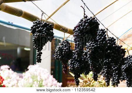 Purple Grape Vine At Vinery