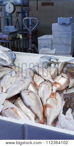Sea Bream Pagrus