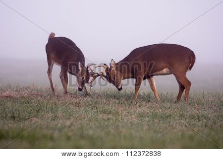 Two White-tailed Deer Bucks In Fog