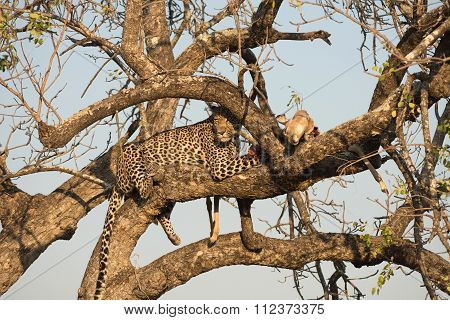 Leopard Feeding On Impala