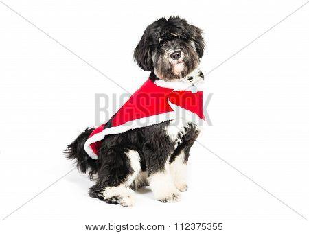 Festive tibetan terrier