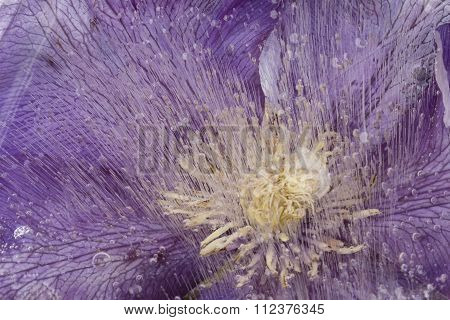 Abstraction Of Beautiful Clematis In Ice