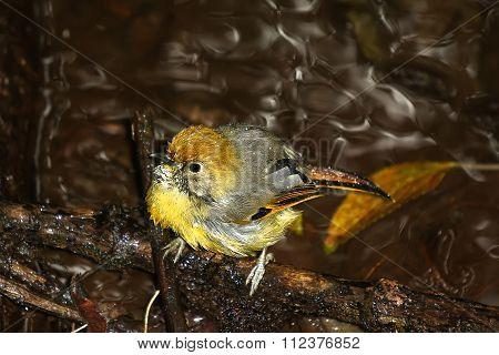 Chestnut-tailed Minla Bird