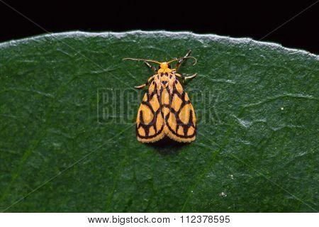 Lyclene Conjunctana Moth On Green Leaf