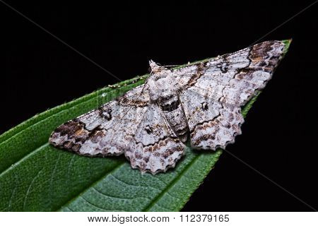 Cleora Determinata Moth On Green Leaf