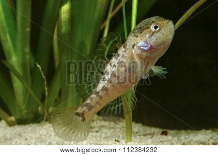 Male Of Chinese Sleeper Fish, Perccottus Gleni