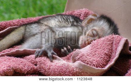 Sleeping Baby Vervet