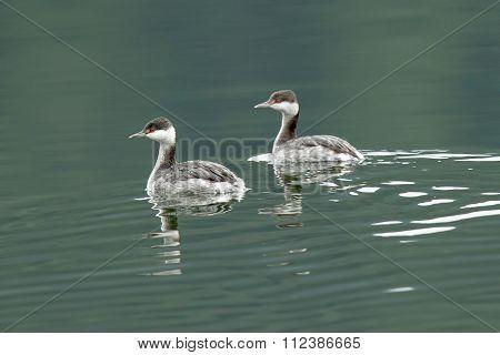 Horned Grebes Swimming.