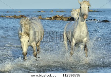 Herd Of White Camargue Horses Running On The Water .