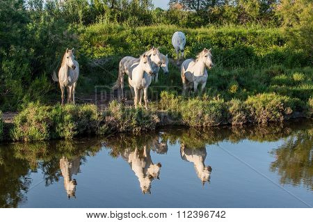 Portrait Of The White Camargue Horses Reflected In The Water.