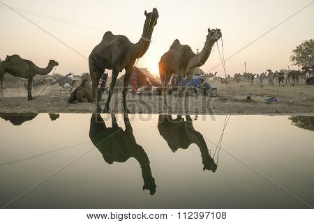 Camel Fair Pushkar 2015