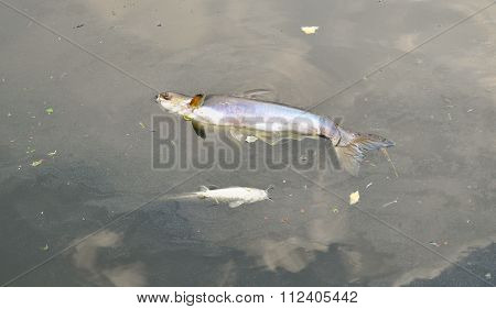 Dead fish and oil spill