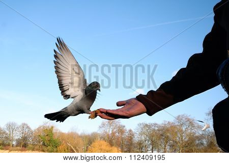 Pigeon eating from hand
