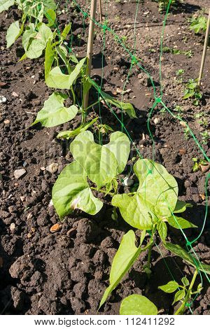 Borlotti Bean Plants