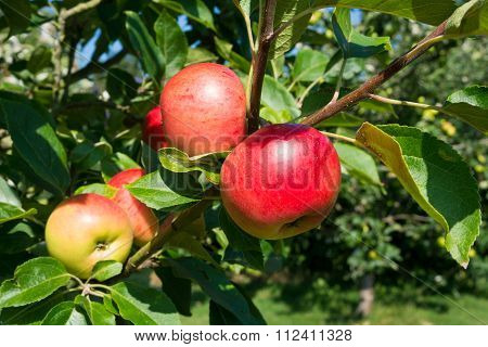 Discovery Apples