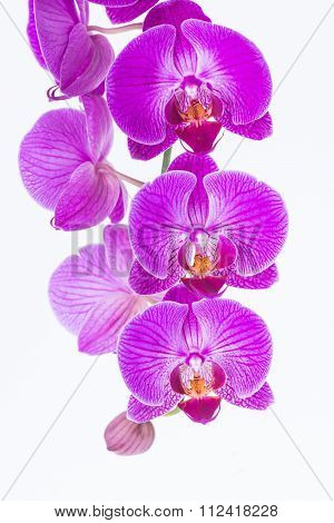 White And Purple Phalaenopsis Orchids