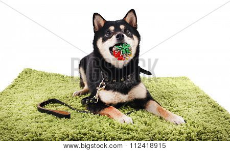 Siba inu dog on a green carpet isolated on white
